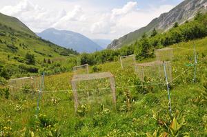 Effet comparé du pâturage des vaches et des chamois sur les composés secondaires des plantes © Loucougaray Grégory / INRAE
