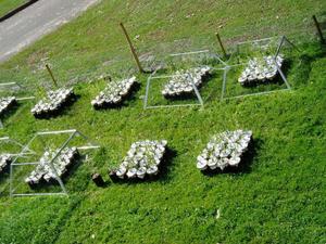 """Expérimentations à base de saules plantés en pots """"open top chambers"""". © Nathan Daumergue"""