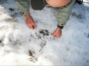 Mesure d'empreintes de loup. © Isabelle Arpin