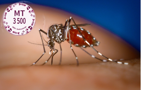 Chikungunya : une nouvelle banque de cellules pour étudier l'infection par le virus