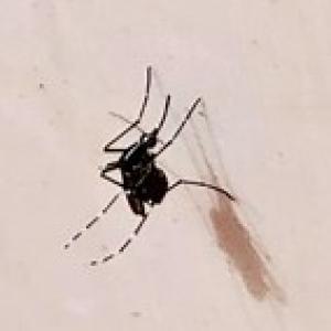 Nutrients and microbiota shape mosquito development