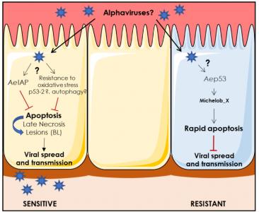 Alphaviruses and cell death